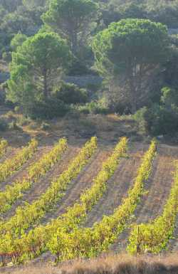 Vineyards and umbrella pines - typical Languedoc landscape
