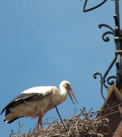 Stork on an Alsace church