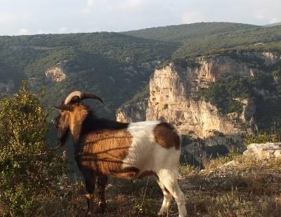 Ardeche goat admiring the gorge